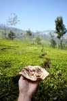 Having a Vegemite Chapati amongst the fields of tea. Lambs Rock, Tamil Nadu, India.