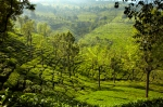 Tea Plantations, Lambs Rock, Tamil Nadu, India.