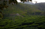 Tea Plantations near Periyar Wildlife Reserve, Kerala, India.